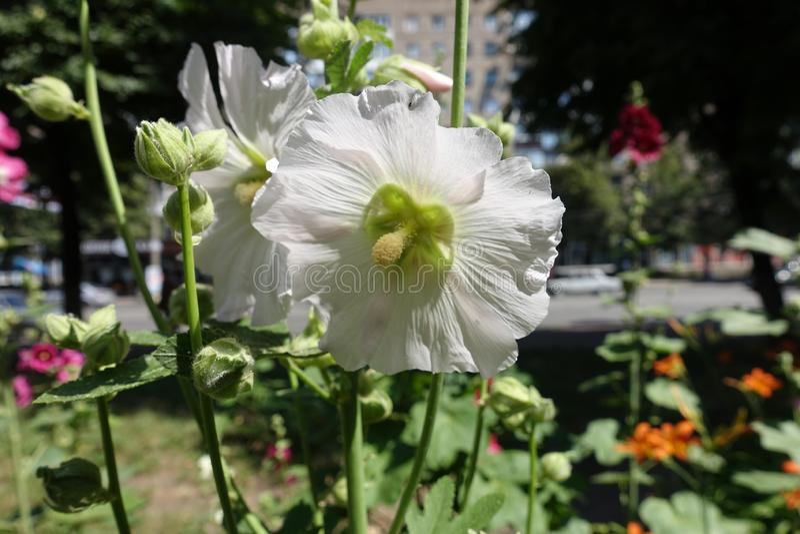 Biały kwiat pospolity hollyhock w Czerwu fotografia stock