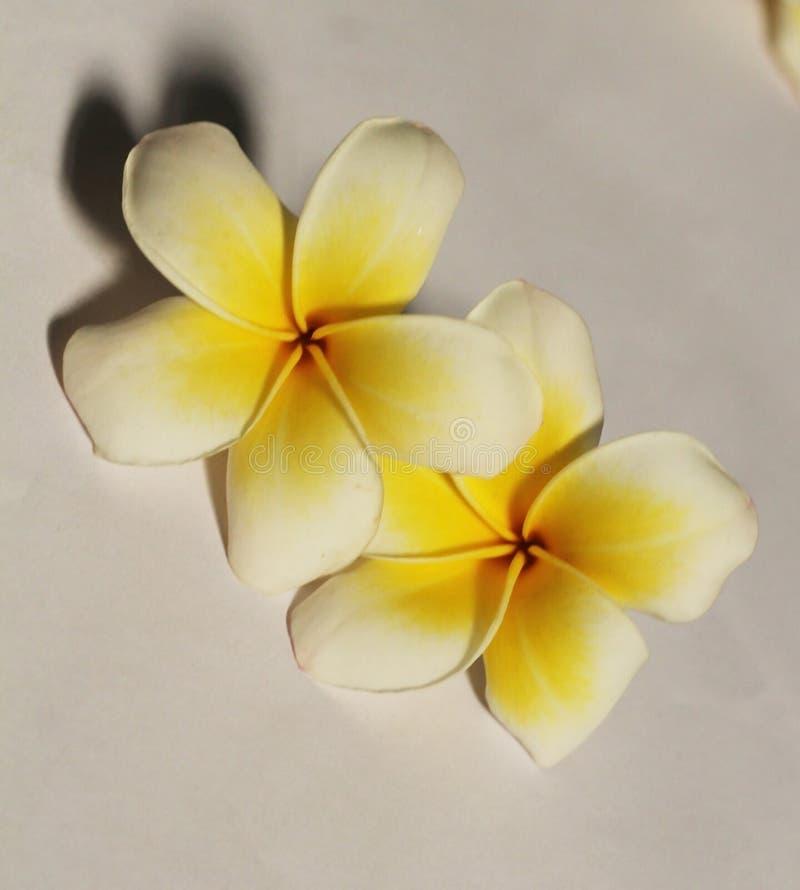 Biały kwiat w białym tle obraz royalty free