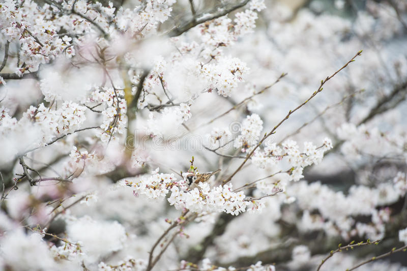 Biały kwiat w Japan fotografia royalty free