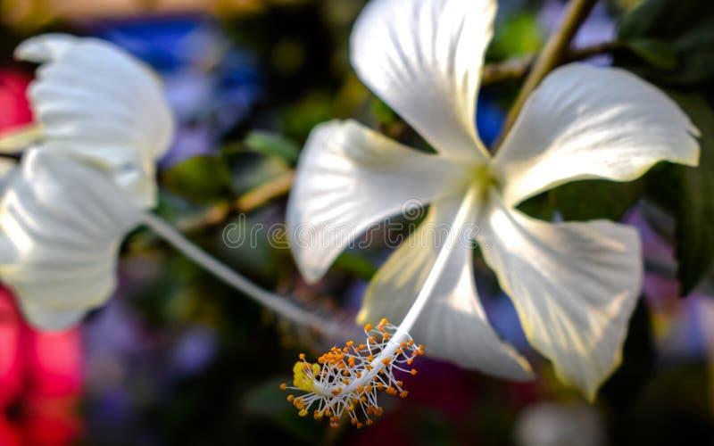 Biały kwiat w ogródzie obraz stock