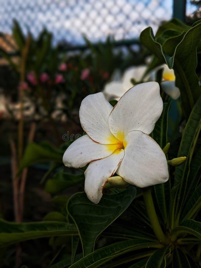 Biały kwiat w ogrodzie z żółtym odcieniem na nim wygląda tak pięknie zdjęcie stock