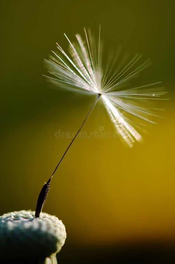 Biały kwiatonośny dandelion na zielonym tle, szczególe i makro- fotografii dandelion ziarnie, fotografia royalty free