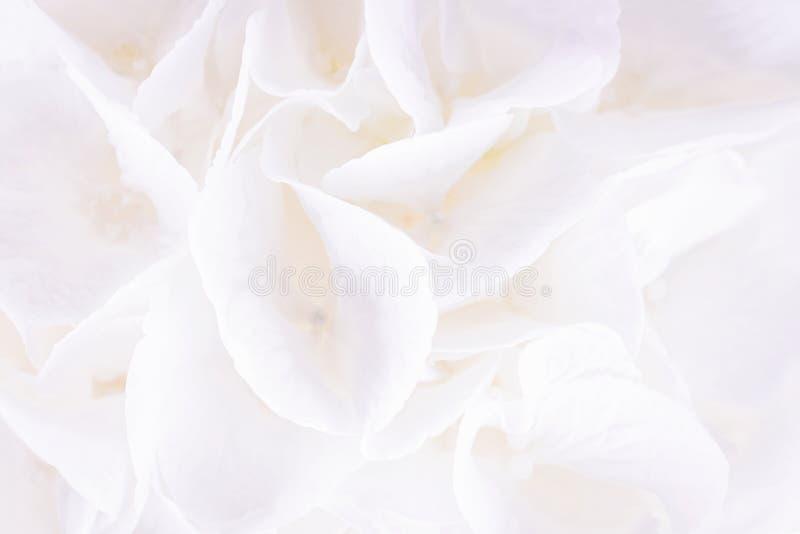 Biały kwiecisty tło Biali hortensji lub hortensia kwiaty Zakończenie, kopii przestrzeń zdjęcia royalty free