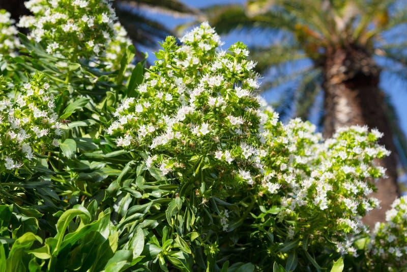 Biały kwitnący Echium obrazy royalty free