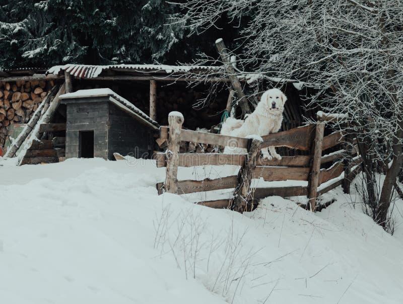 Biały labrador w śniegu zdjęcie stock