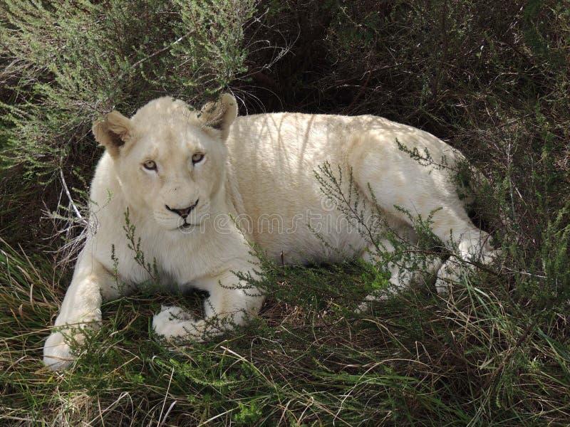 Biały lew & x28; alone& x29; fotografia royalty free