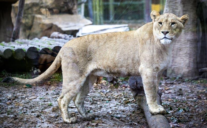 Biały liger dla spaceru w zoo wolierze Ligr Hybryd lew i tygrys Wielki męski ligra obrazy stock