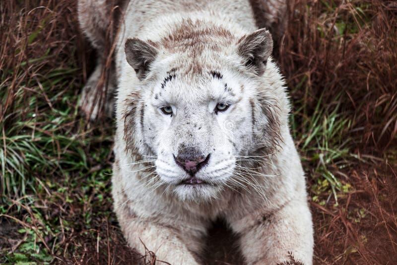 Biały ligr kłama spacer w zoo wolierze Ligr Hybryd lew i tygrys Wielki męski ligra obraz royalty free