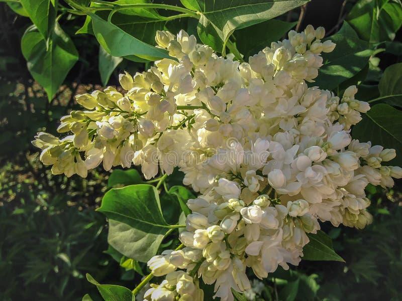 Biały lily Terry na gałąź Wiosna fotografia stock