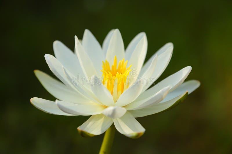 Biały Lotos fotografia stock