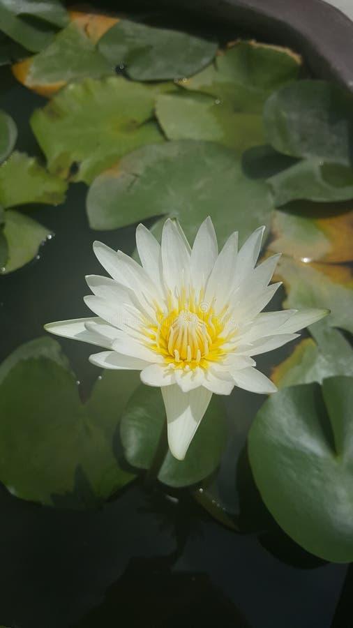 Biały Lotos zdjęcia stock