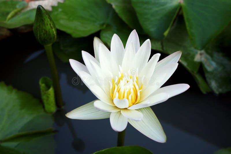 Biały lotosowego kwiatu kwitnienie w stawie obrazy stock