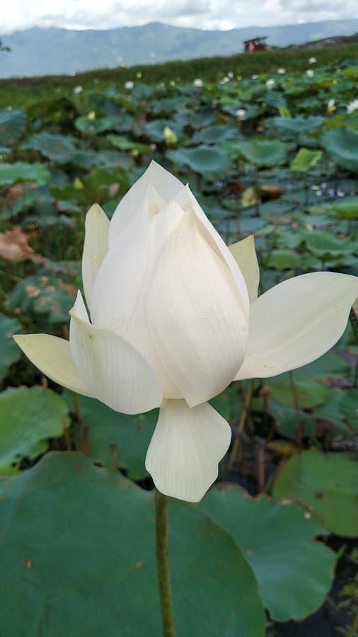 Biały lotus w dziedzinie rodzinnego miasta Imphal, Indie zdjęcia royalty free