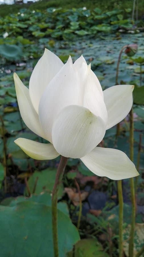 Biały lotus w dziedzinie rodzinnego miasta Imphal, Indie fotografia stock
