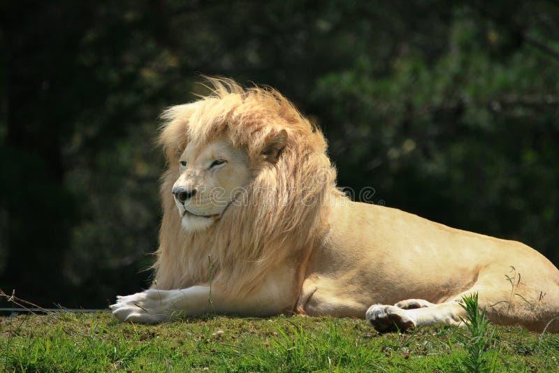 Biały lwa Panthera Leo krugeri obraz royalty free