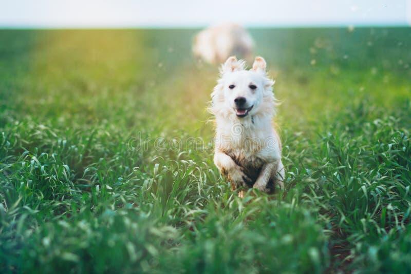 Biały mały pies w polu zdjęcia stock