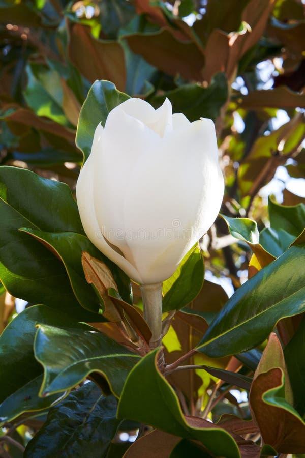 Biały magnoliowy kwiatu pączka zbliżenie zdjęcie royalty free