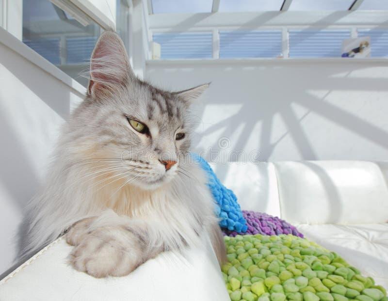 Biały Maine Coon kot zdjęcia stock