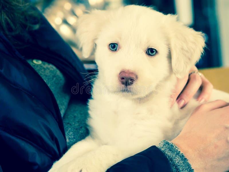 Biały Maremma szczeniaka pies z niebieskimi oczami zdjęcia stock
