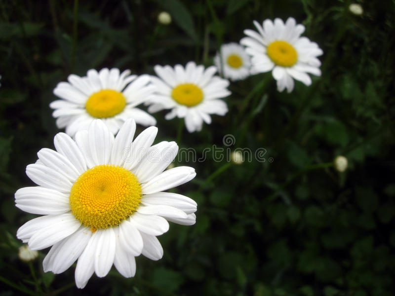 Biały marguerite kwitnienie w wiośnie obraz stock