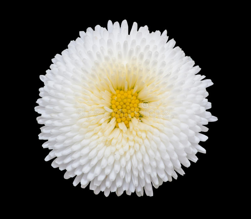 Biały marguerite stokrotki kwiat odizolowywający na czarnym tle obraz stock