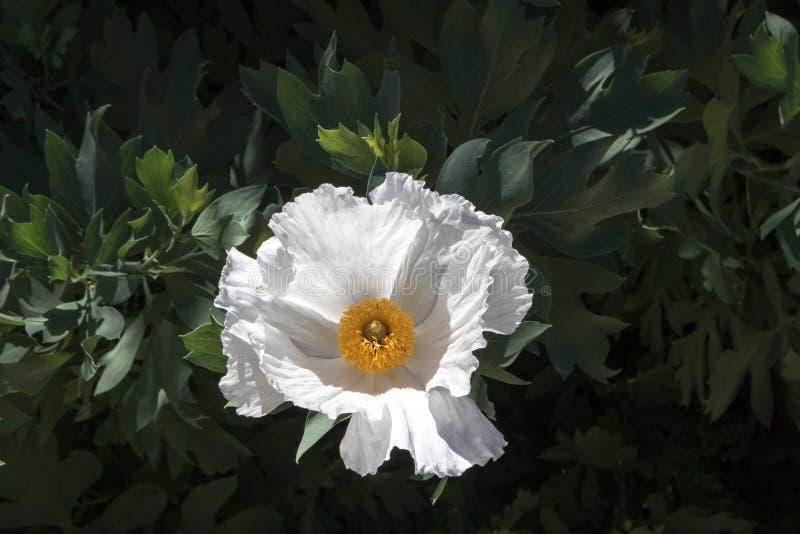 Biały Matilija maczka kwiat, suszy tolerancyjna rodzima roślina, plenerowy zbliżenie z tłem rozpoznawalni liście zdjęcia stock