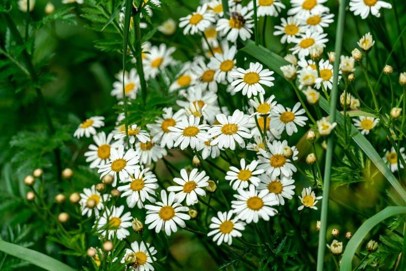 Biały Matricaria chamomilla chamomile kwitnie w jaskrawym świetle słonecznym fotografia stock