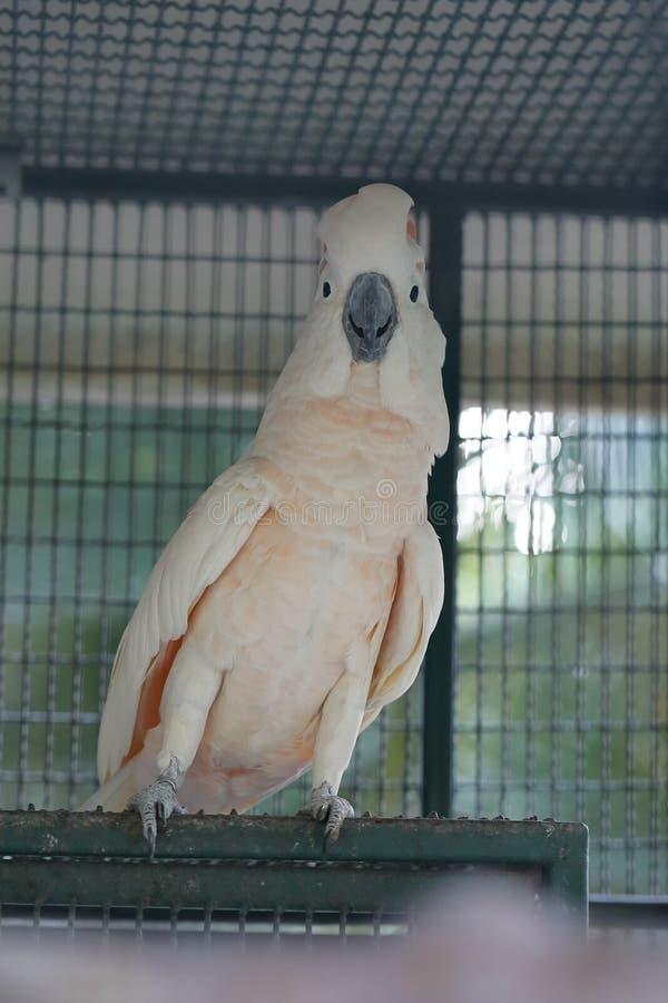 Biały moluccan kakadu obrazy stock