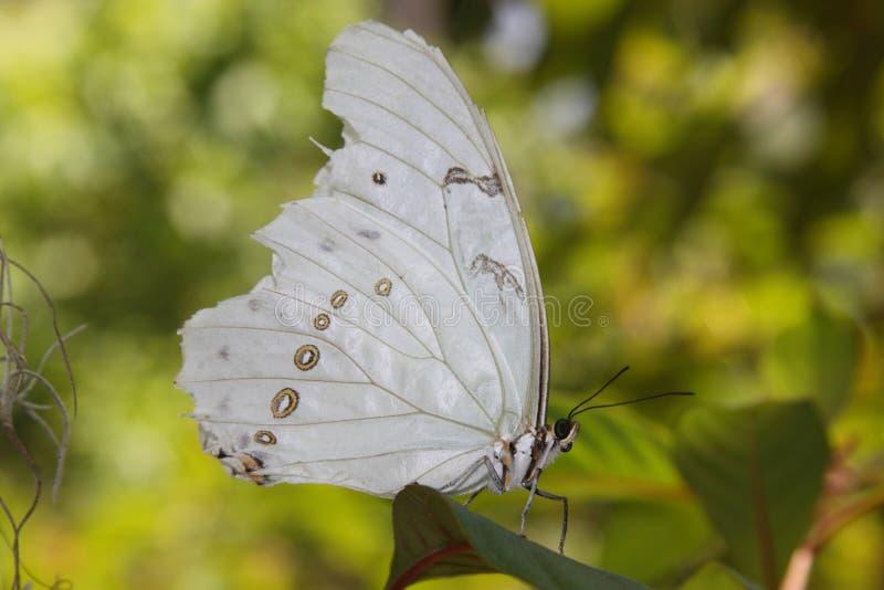 Biały motyl zdjęcie stock