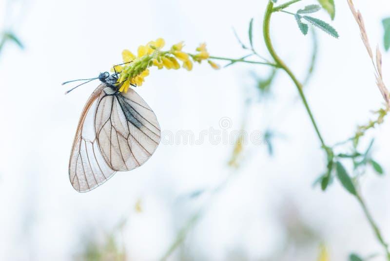 Biały motyl i żółty kwiat zdjęcie stock