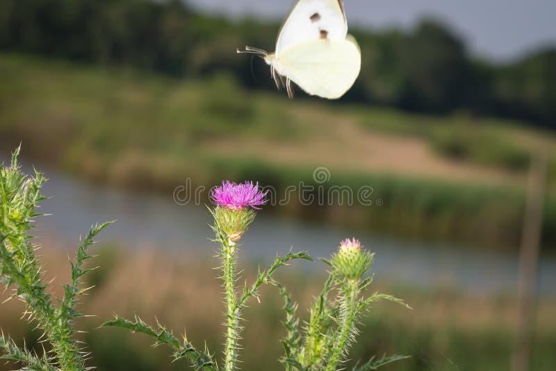 Biały motyl latał daleko od z kwiatami fotografia royalty free