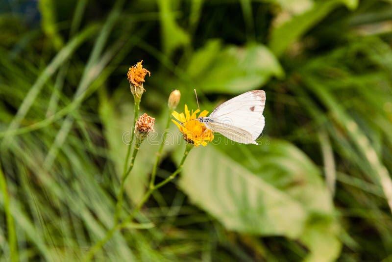 Biały motyl na żółtej kwiatu lata naturze zdjęcia stock