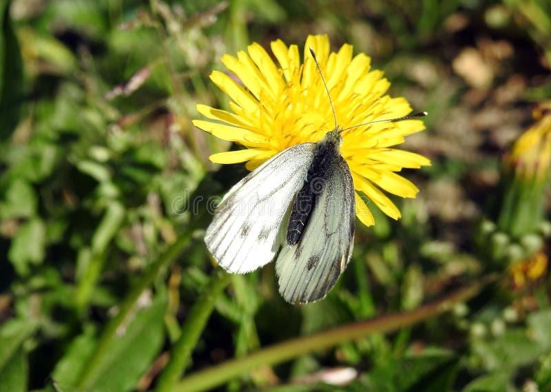 Biały motyl na żółtym kwiacie, Lithuania obrazy royalty free
