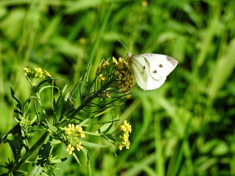 Biały motyl na żółtym kwiacie, Lithuania obraz royalty free
