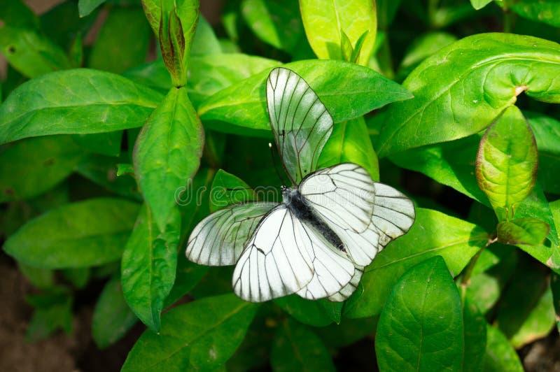 Biały motyl na kwiacie fotografia royalty free