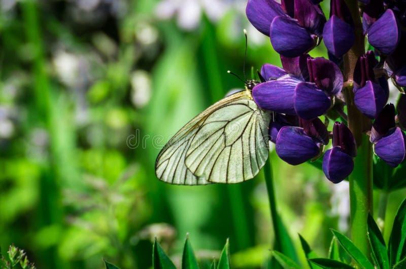 Biały motyl na kwiacie fotografia stock