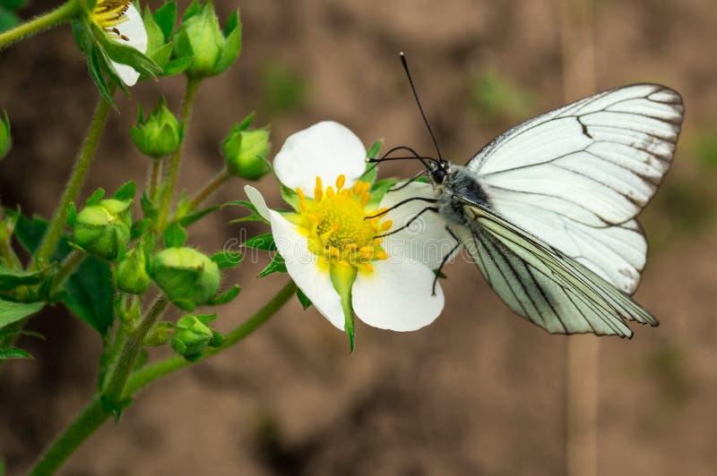 Biały motyl na kwiacie zdjęcia stock