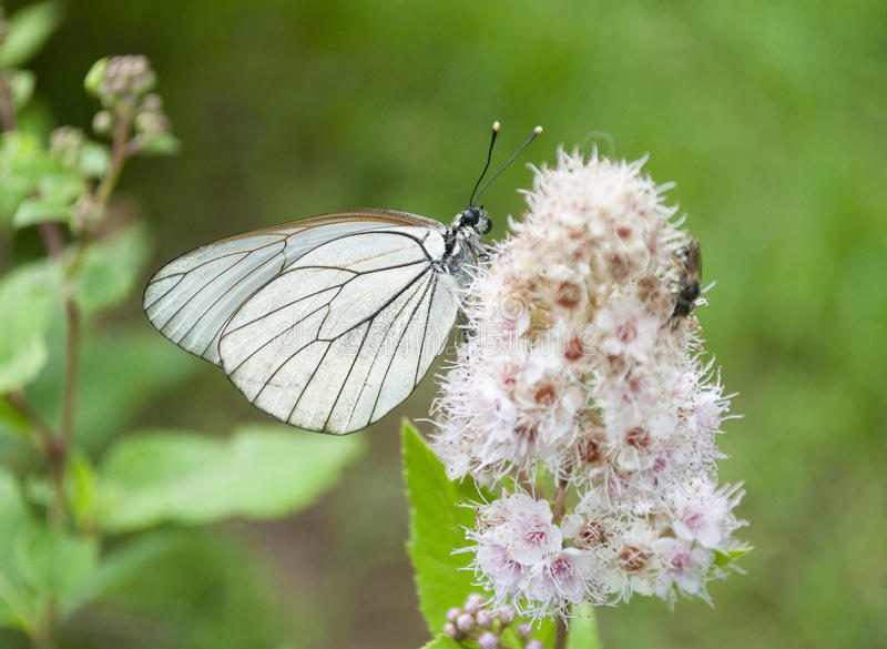 Biały motyl na słodkim kwiacie fotografia stock