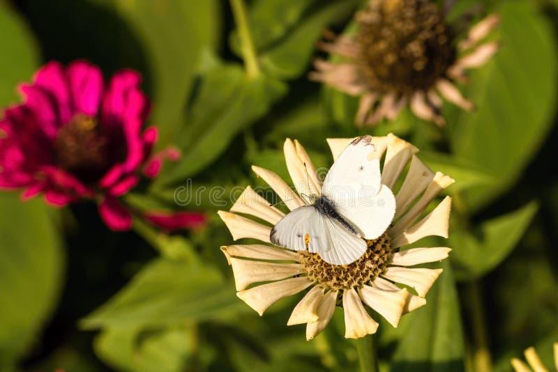Biały motyl z przetartymi skrzydłami na suchym kwiacie fotografia royalty free