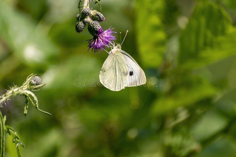 Biały motyli obsiadanie na fiołkowym kwitnie osecie zdjęcie royalty free