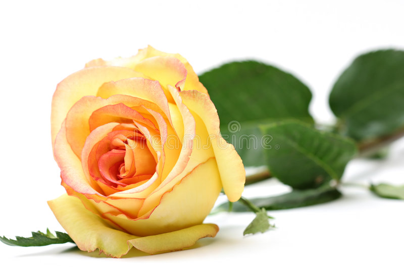biały nad rose zdjęcia stock