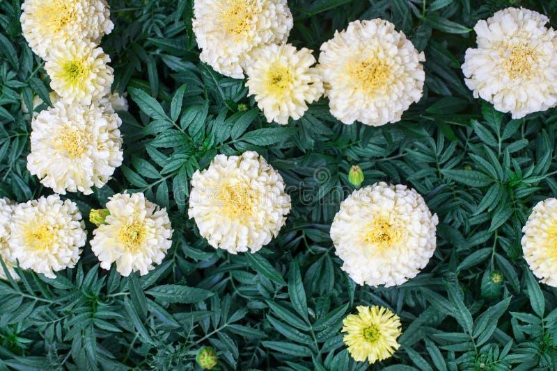 Biały nagietek kwitnie na zielony ulistnienie zamazującym tle zamkniętym w górę odgórnego widoku, piękni kwitnący tagetes kwiaty, zdjęcie royalty free