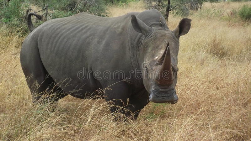 Biały nosorożec byk obraz royalty free