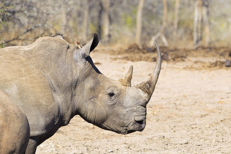 Biały nosorożec kierowniczy, ramiona i zdjęcie royalty free
