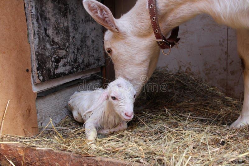 Biały nowonarodzony dzieciak z macierzystą kózką zdjęcie stock