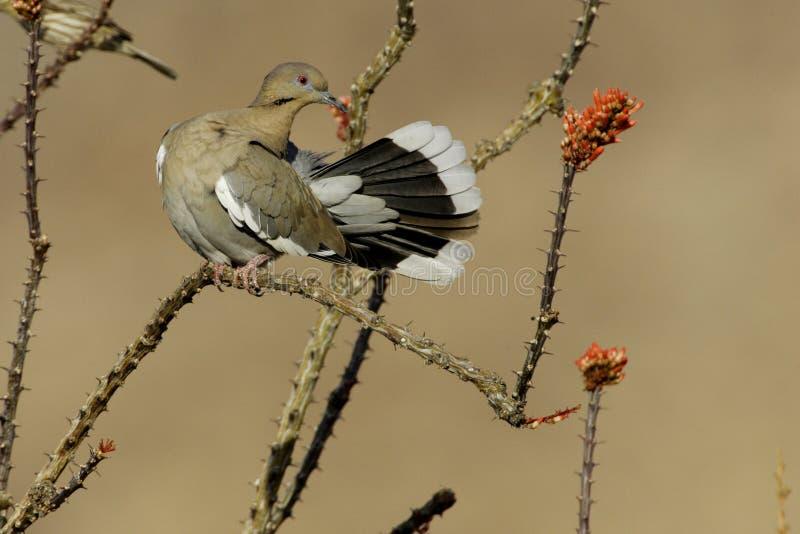 biały nurkujący skrzydlata zdjęcia stock