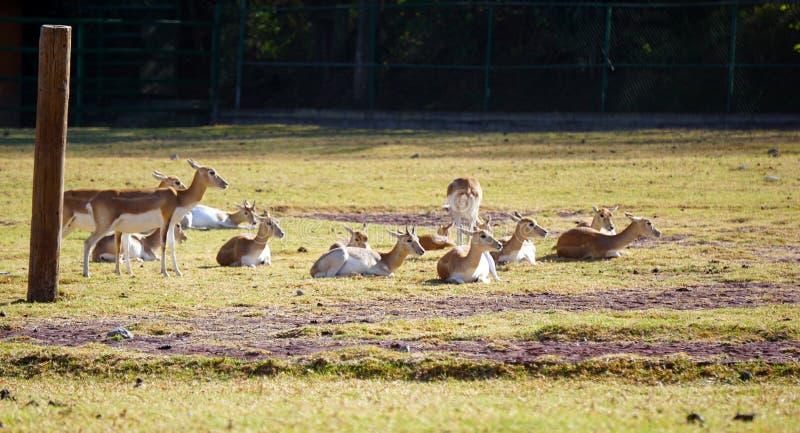 Biały ogoniasty deers odpoczywać obrazy stock