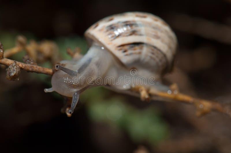 Biały ogrodowy ślimaczek zdjęcie stock