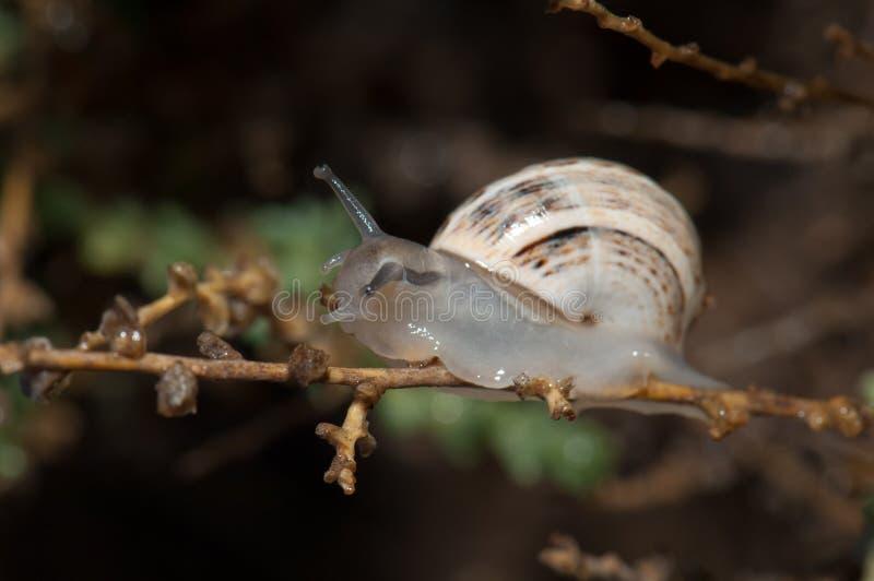 Biały ogrodowy ślimaczek fotografia stock