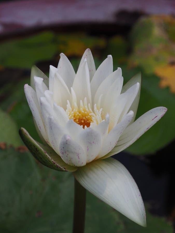 Biały okwitnięcie Lotus obraz royalty free